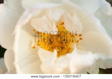 Nature background white rose flower covered by water drops after rain extreme closeup with shallow depth of field central composition