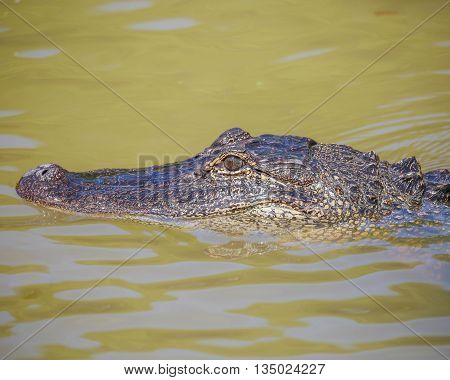 An alligator swimming and lurking in the water