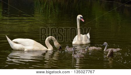 Family of swans birds on pond in south Bohemia