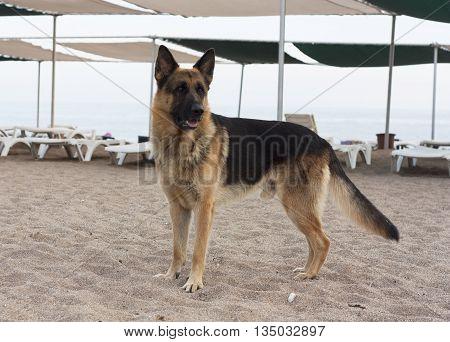 German Shepherd dog photo on beach near sea
