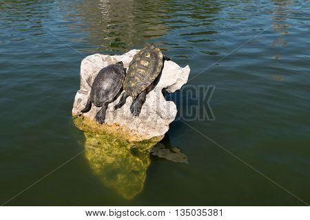 Two turtles on the rock in the water tanning themselves