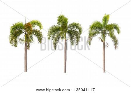 Foxtail palm trees isolated on white background