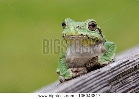 Green common tree frog on wooden fence