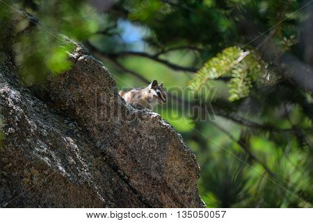 Chipmunk Perched on a Rock in the Forest