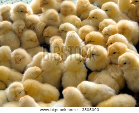 a group of chick