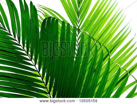 beautiful palm leaf isolated