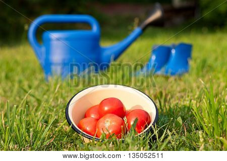 Blue rubber boots and watering can on a background of green lawn. Bright gardener tools for garden care. Harvest ripe red tomatoes in a bowl.