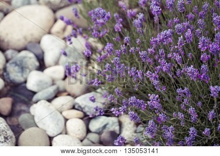Lavender flower bush in the white rocks  garden,park,backyard,meadow blossom in the morning,evening light beautifully with toned color and selective focus