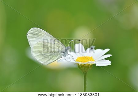 The small white (Pieris rapae) sitting on white flower outdoor in spring