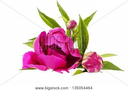 pink flowers of peony isolated on white background.