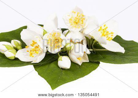 Jasmine flowers on isolated on white background close up.
