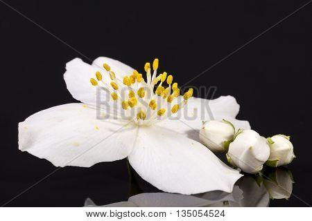 Jasmine flowers isolated on black background close up.