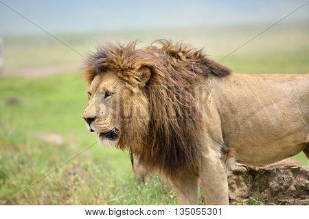 Big lion on savannah grass