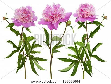 Three pink blooming peonies isolated on a white background