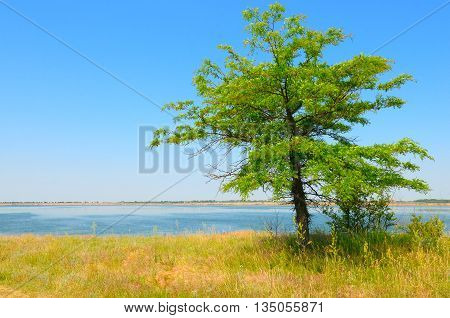 lonely tree on the shore of the Gulf