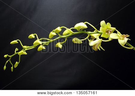 Greenish waxy Orchid Flower Lycaste on black background