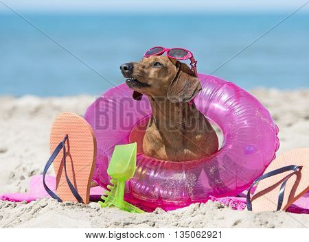 brown dachshund resting on the beach in holidays