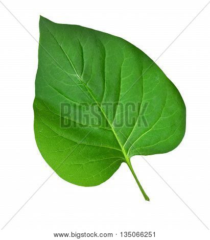 Green leaf. Isolated on a white background with clipping path