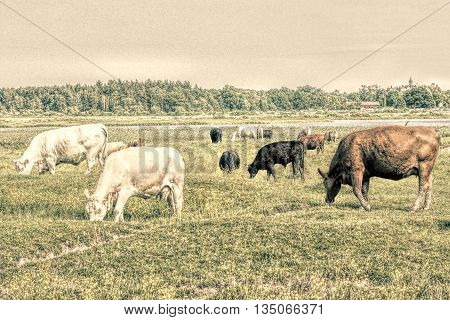 Herd of cows grazing on pasture. Old style photo with nice soft touch.