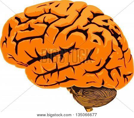 Vector illustration of human brain anatomical organ