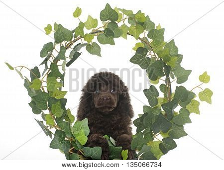 puppy poodle in ivy in front of white background