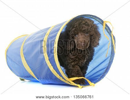 puppy poodle in agility in front of white background