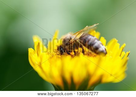 Macro of honeybee (Apis mellifera) pollinating dandelion flower shallow DOF