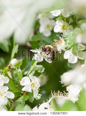 Closeup of honeybee (Apis mellifera) pollen maythorn (Crataegus monogyna) flowers