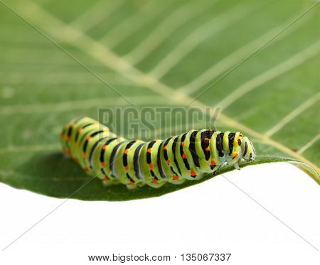 Crawling On Leaf Caterpillar
