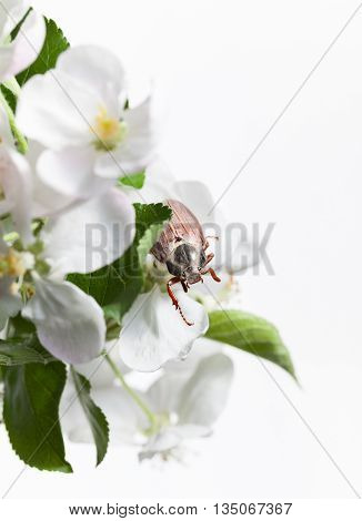 Macro en face of maybug beetle (Cotinis nitida) in blooming apple twig