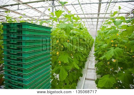 Harvest In A Greenhouse