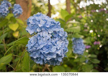 Flowers of the season. Close-up of Hydrangea flowers
