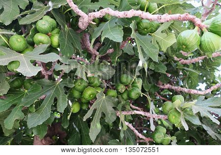 Ripening Figs with Fig Leaves on Branch