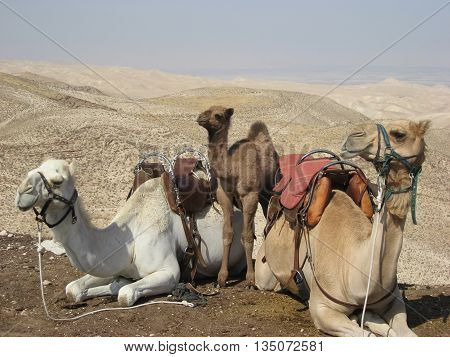Three saddled seated camels in Holy Land wilderness