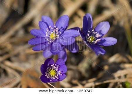 Hepatica Nobilis Mill