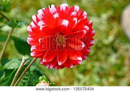 Red dahlia against the softly muted shades of the leaves