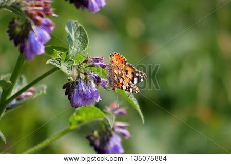 A Painted Lady butterfly among purple wildflowers
