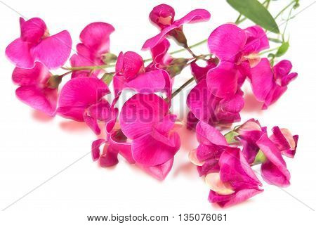 Inflorescence of plant vetch it is isolated closeup on a white background