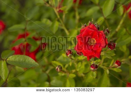 Beutiful saturated dark red flower composition for backgrounds.