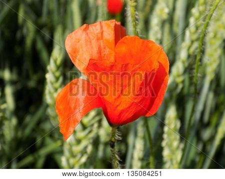 Poppy flower on field in summer during sunny day