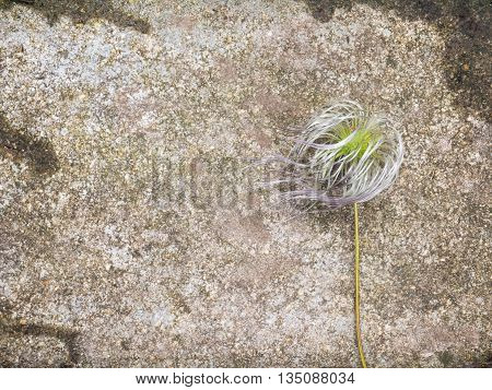 Fluffy head of clematis alpina fruit on the concrete wall background