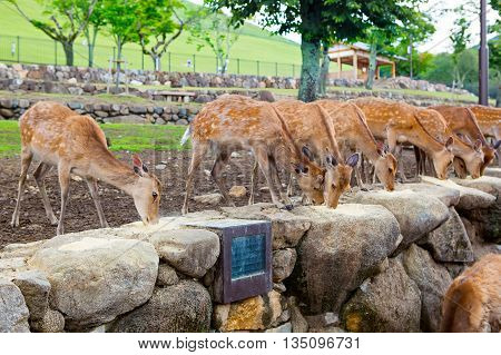 Many deers in Nara park, Japan. Holy animals for japanese religious people.