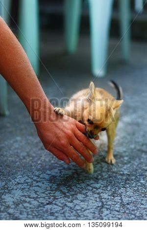 little charming adorable chihuahua puppy on blurred background. Attacking a persons hand