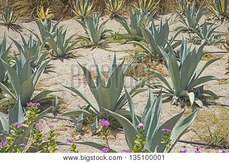 Group Of Cacti In A Desert Garden