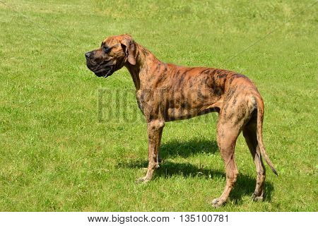 Great dane dog in the grass outdoors.