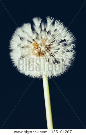 dandelion flower on dark background