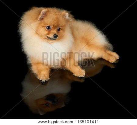 One red Pomeranian dog lies on black isolated background