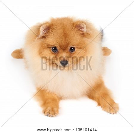 One red Pomeranian spitz lies on white isolated background