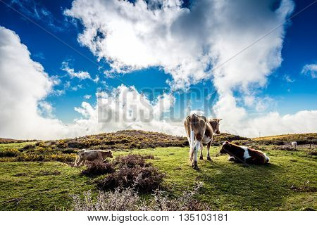 A few cows grazing on plateau Madeira Portugal
