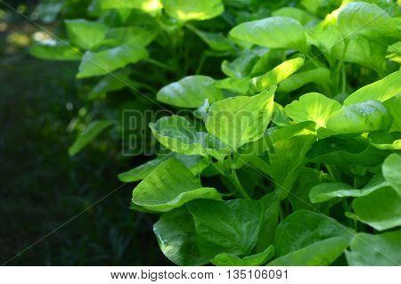 Dwarf amaranth, Amaranthus sp., Family Amaranthaceae, Central of Thailand